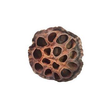 Коробочка Лотоса большая, d 6-7 см