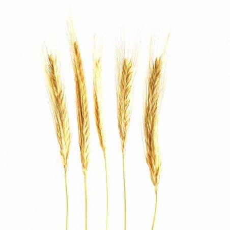 Колоски пшеницы натуральные, 30-35 см, 5 штук
