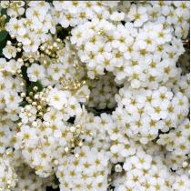 Виниловый безбликовый фотофон Цветы №1, 50*50 см